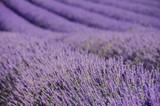 Lavendelfeld - lavender field 71