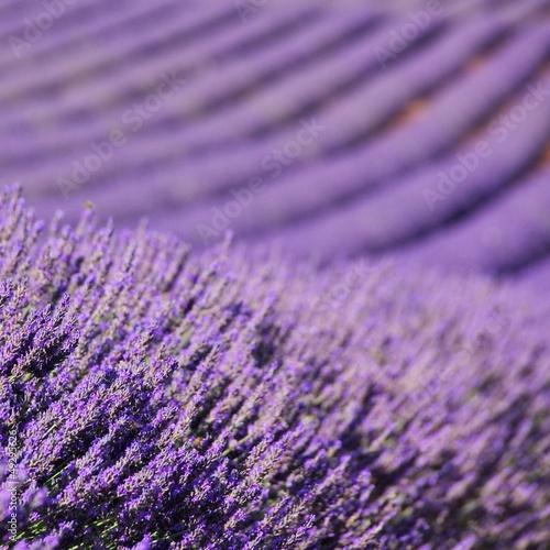 Lavendelfeld - lavender field 70