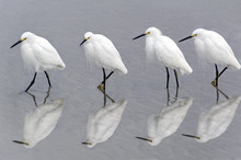 Snowy Egrets Walking On Beach