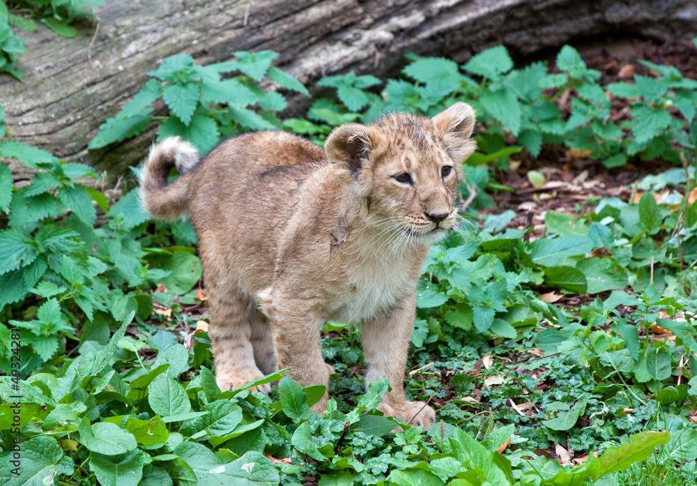 Photo  lion cub