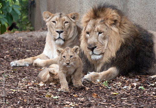 Photo  family of lions