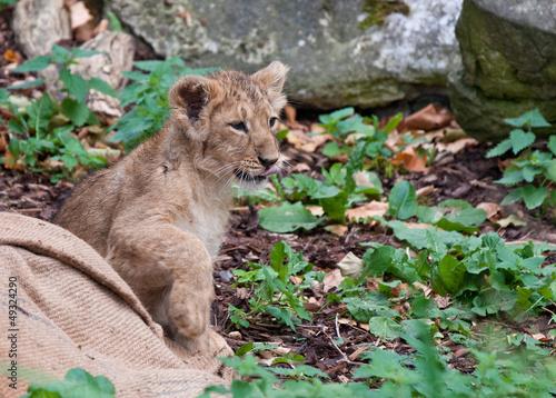 Canvastavla  lion cub