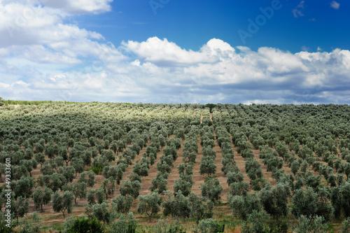 Fototapeta olive grove