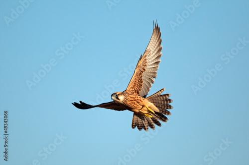 Photo  Lanner falcon in flight