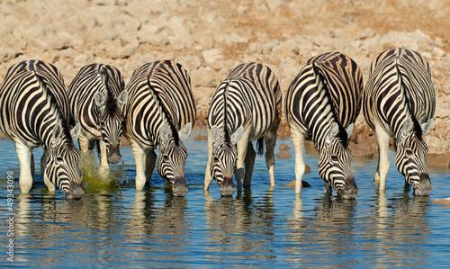 In de dag Zebra Plains Zebras drinking water, Etosha National Park
