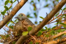 Doves In The Nest