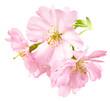 canvas print picture - Freigestellte Kirschblüten