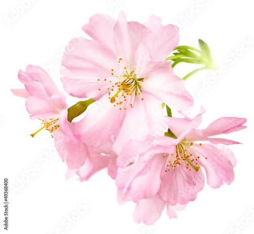 Deurstickers Kersen Freigestellte Kirschblüten