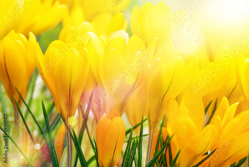 Canvas Prints Crocuses Gelbe Kokusse in der Sonne