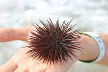 Sea Urchin On The Palm