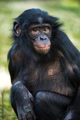 Fotografie, Obraz  Bonobo Chimp