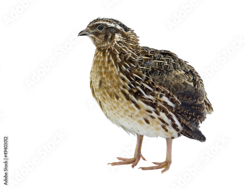 Foto Adult quail isolated on white background