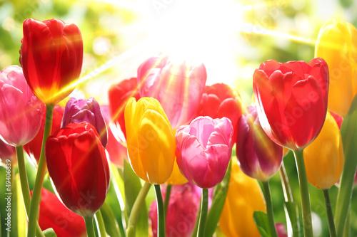 Fototapety, obrazy: Fresh tulips in warm sunlight