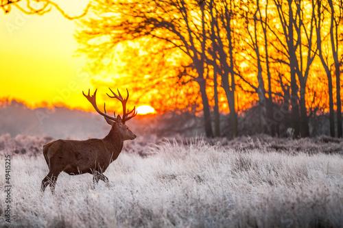 Deurstickers Hert Red deer in morning sun
