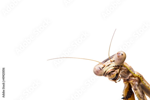 Fotografie, Obraz  mantis on white