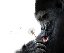 Gorilla Making A Wish, Isolate...