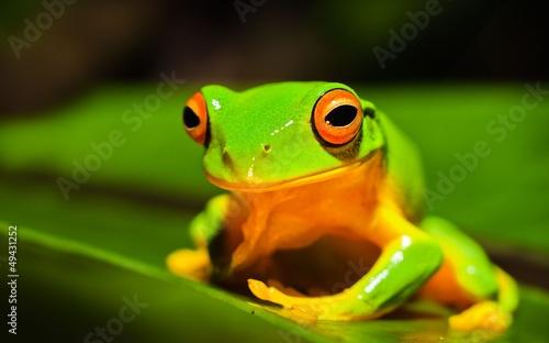 Tuinposter Kikker A macro shot of a beautiful Australian Orange thighed Tree frog