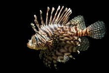 Isolated Shot Of A Lion Fish