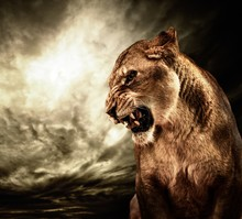 Roaring Lioness Against Stormy Sky
