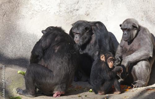 Photographie Chimpanzee