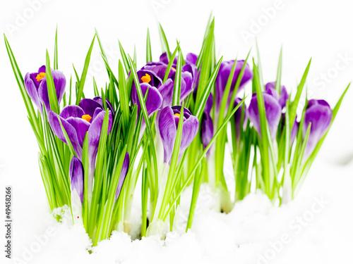 Papiers peints Crocus Crocus flowers in snow