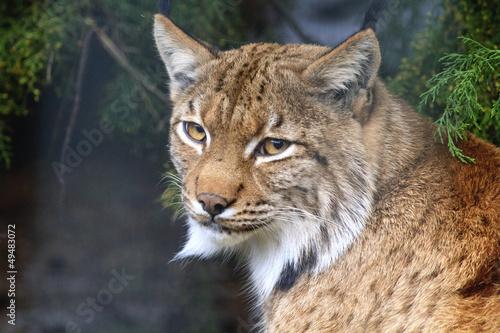 Papiers peints Lynx Lynx