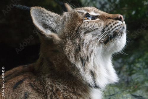 Poster Lynx Carpathian Lynx