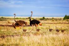 Ostrich Family On Savanna, Safari In Amboseli, Kenya