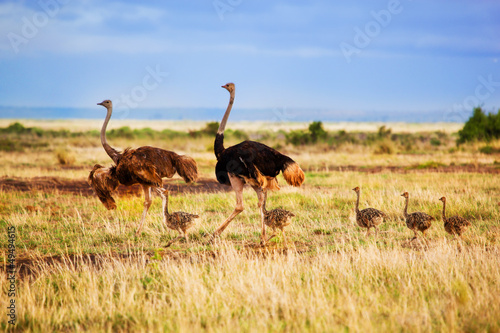 Ostrich family on savanna, safari in Amboseli, Kenya
