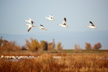 Snow Geese In The Air