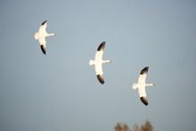 Snow Geese Over The Marsh