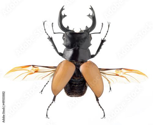 Carta da parati insect, beetle, bug, rhino beetle, isolated on white