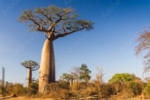In de dag Baobab Baobab tree, Madagascar