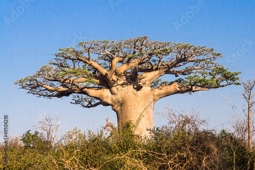 Keuken foto achterwand Baobab Baobab tree, Madagascar