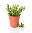 Rosemary in a brown pot on a white background