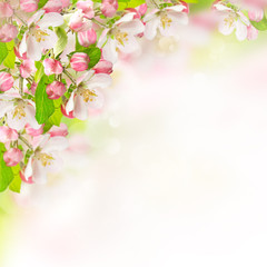 Fototapetaapple blossoms over blurred nature background