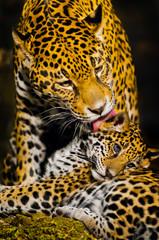 Fototapeta Zwierzęta Jaguar Cubs