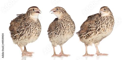 Tree young quails Fototapete