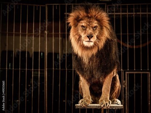 Foto op Plexiglas Leeuw Lion in circus cage