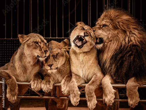 Lion and three lioness