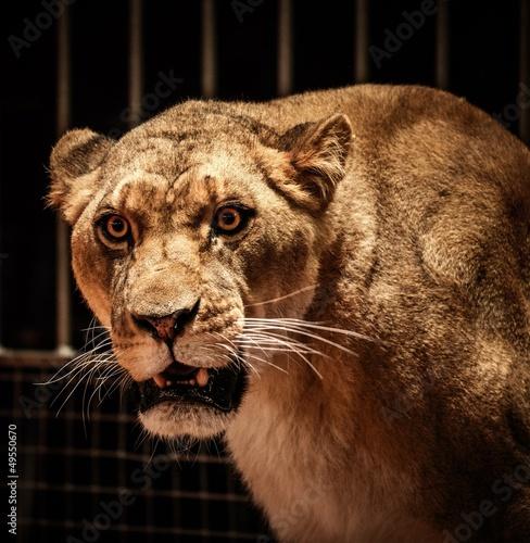 Staande foto Leeuw Close-up shot of lioness
