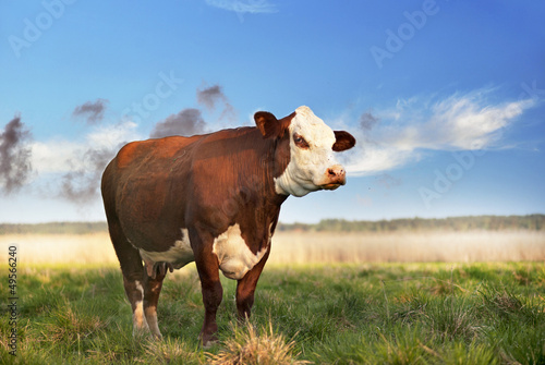 Photo Stands Cow Brown cow in field
