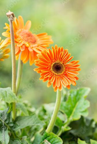 Photo barberton daisy gerbera
