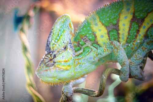 Cadres-photo bureau Cameleon chameleon is sleeping on a branch.