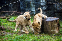 Two Young Lion Cubs Playing