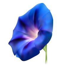 Blue Realistic Bindweed Flower