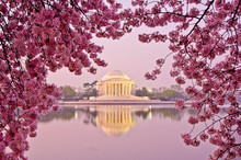 Sunrise With Cherry Blossoms A...