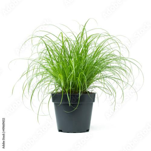 Valokuva  Cyperus Zumula