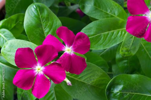 Plakat kwiaty barwinek