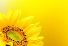 Sunflower On Summer Background